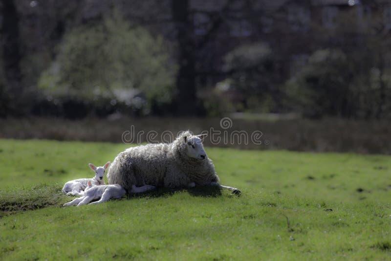 Ovejas de la oveja que se acuestan con los corderos de la primavera imagen de archivo libre de regalías
