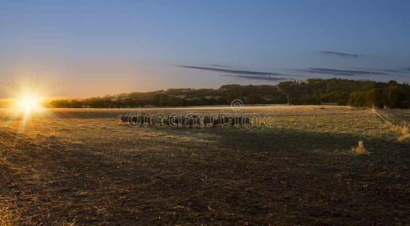 Ovejas de la puesta del sol imagen de archivo libre de regalías