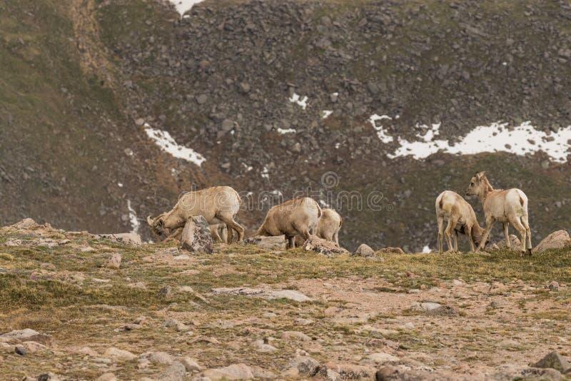 Ovejas de las ovejas de Bighorn fotografía de archivo