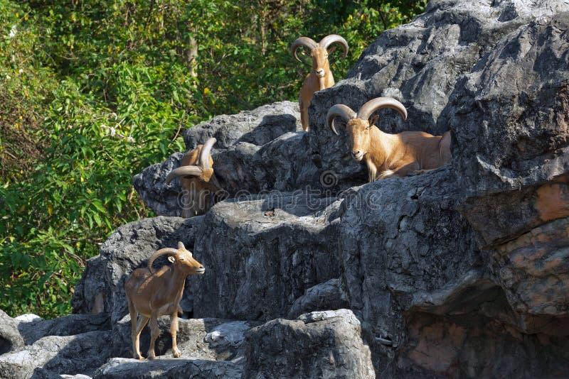 Ovejas de montaña en las rocas foto de archivo