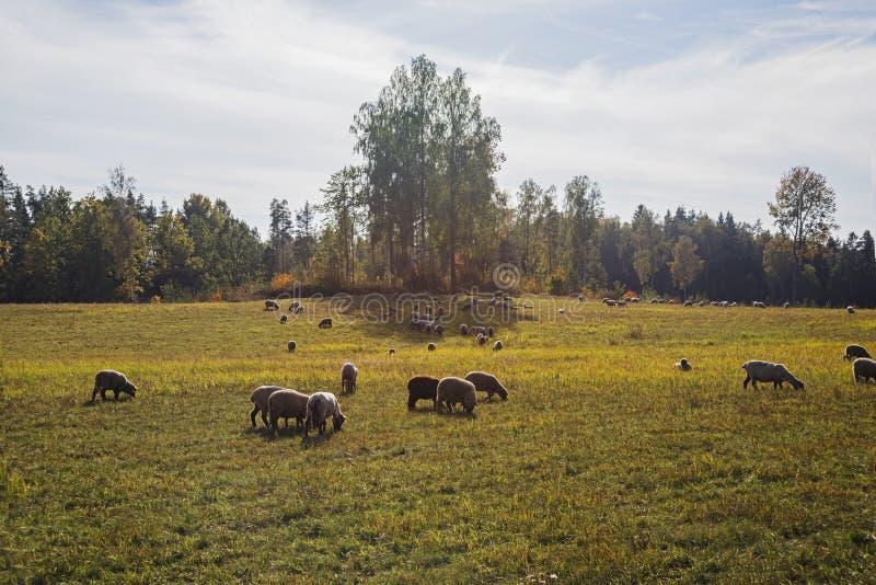 Ovejas de un campo Día de verano asoleado imagenes de archivo