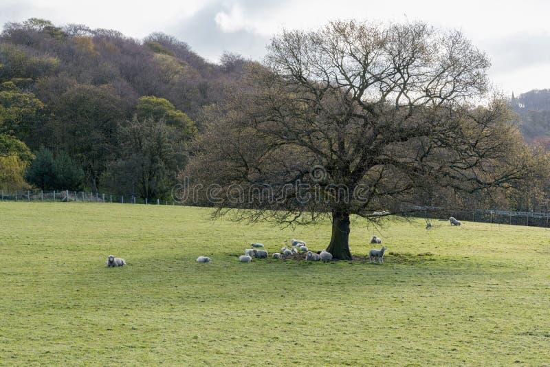 Ovejas debajo del árbol foto de archivo