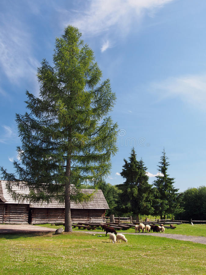 Ovejas debajo del árbol en Pribylina imágenes de archivo libres de regalías