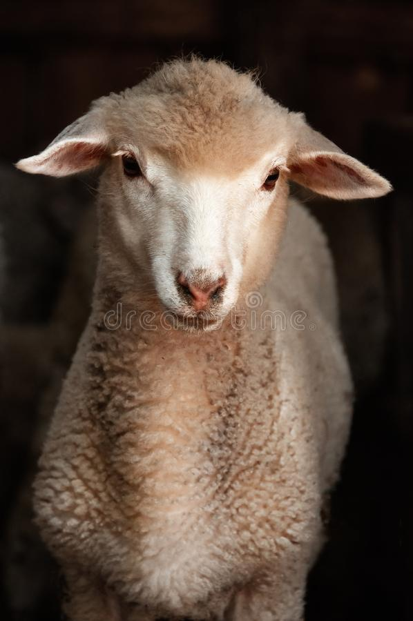 Ovejas del cordero Retrato de una oveja que mira la cámara Ovejas encendido foto de archivo libre de regalías