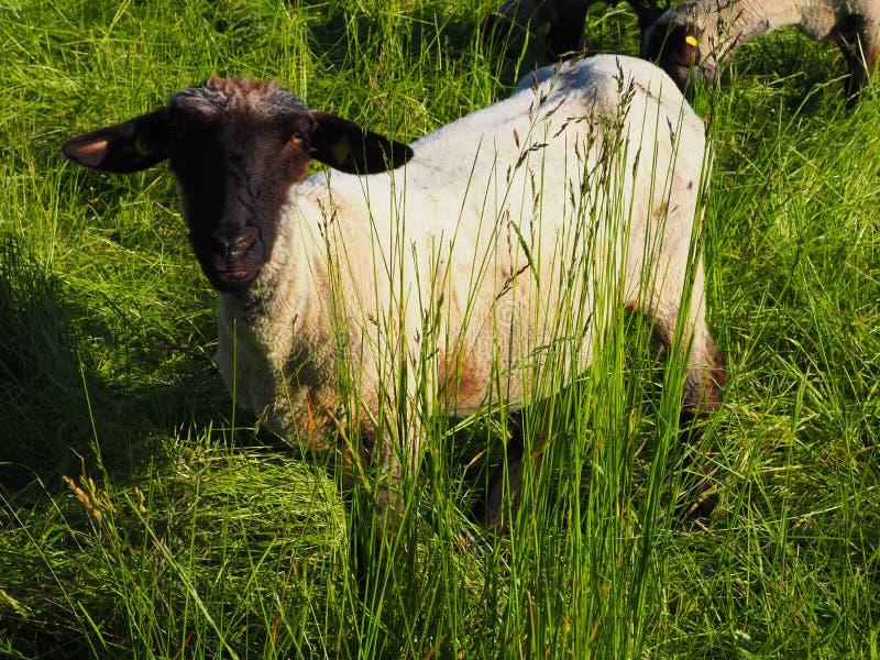 Ovejas embarazadas del rhön en un prado verde foto de archivo