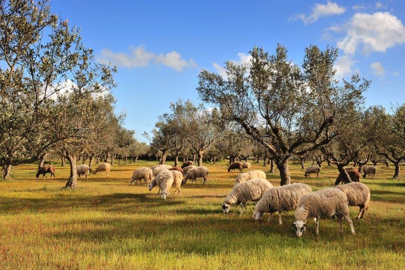 Ovejas en campo del olivo imagen de archivo libre de regalías