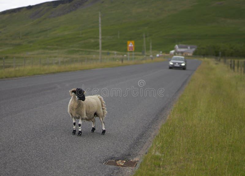 Ovejas en carretera principal foto de archivo