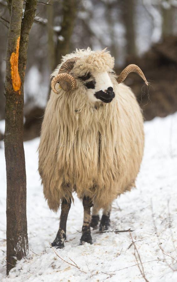 Ovejas en condiciones duras del invierno imagenes de archivo