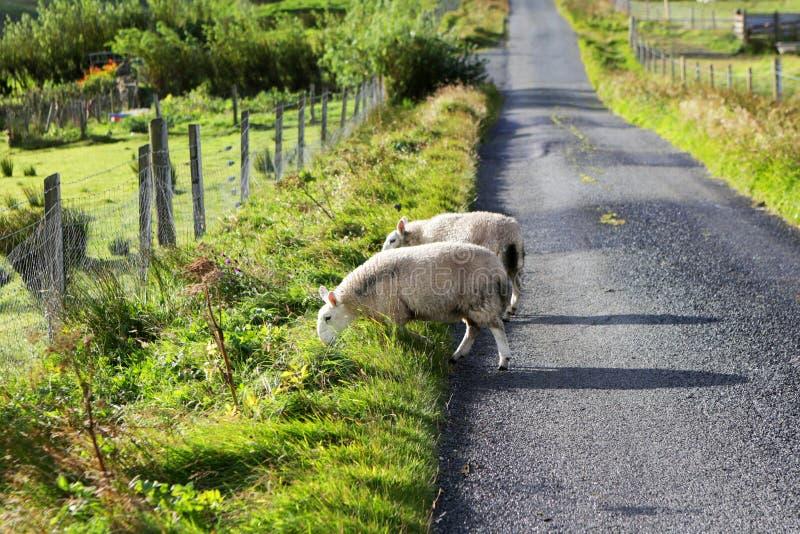 Ovejas en el camino, isla de Skye, Escocia fotos de archivo libres de regalías
