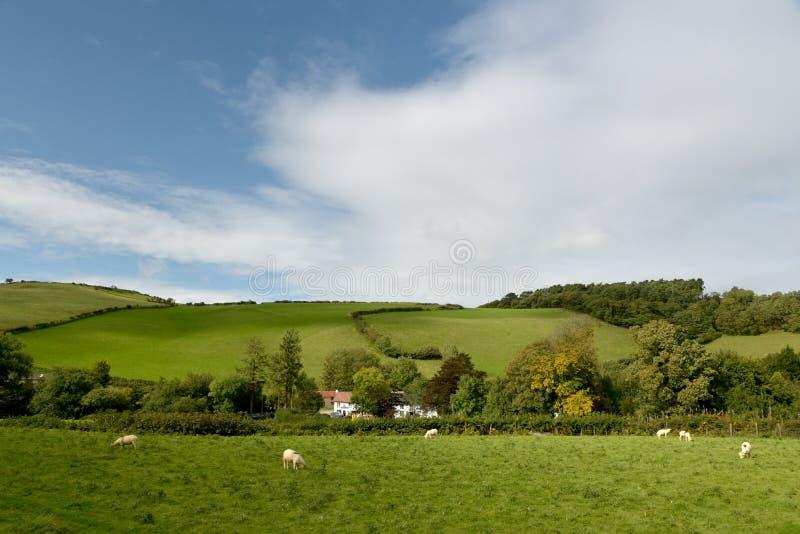 Ovejas en el campo, valle de Doone, Exmoor, Devon del norte fotografía de archivo libre de regalías