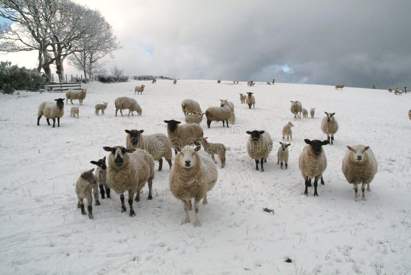 Ovejas en el snow_02 fotos de archivo