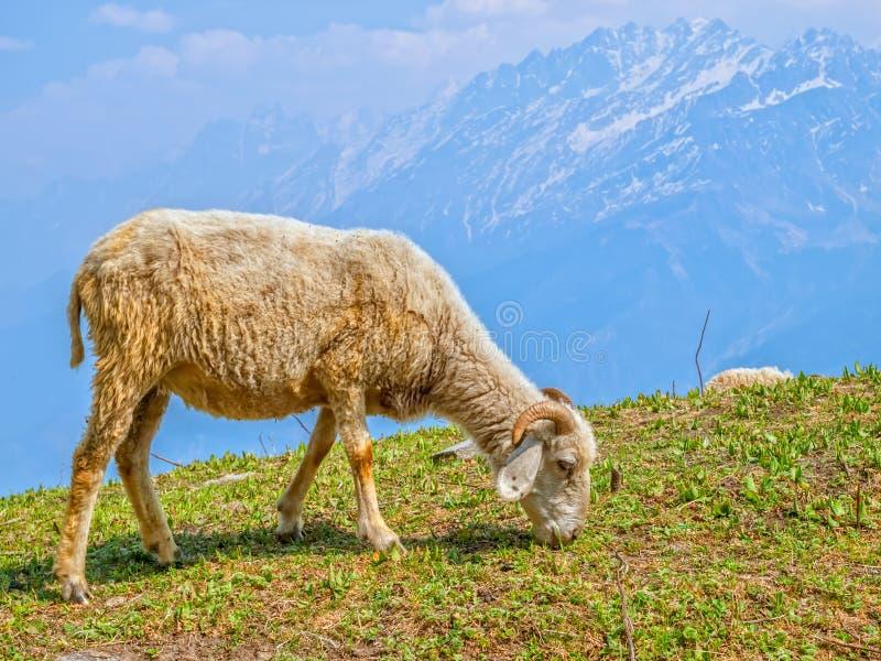 Ovejas en Himalaya imagen de archivo