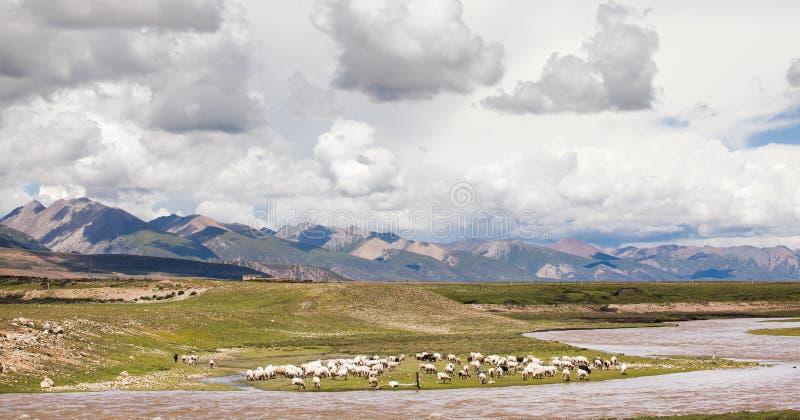 Ovejas en la meseta de Qinghai-Tíbet imagenes de archivo