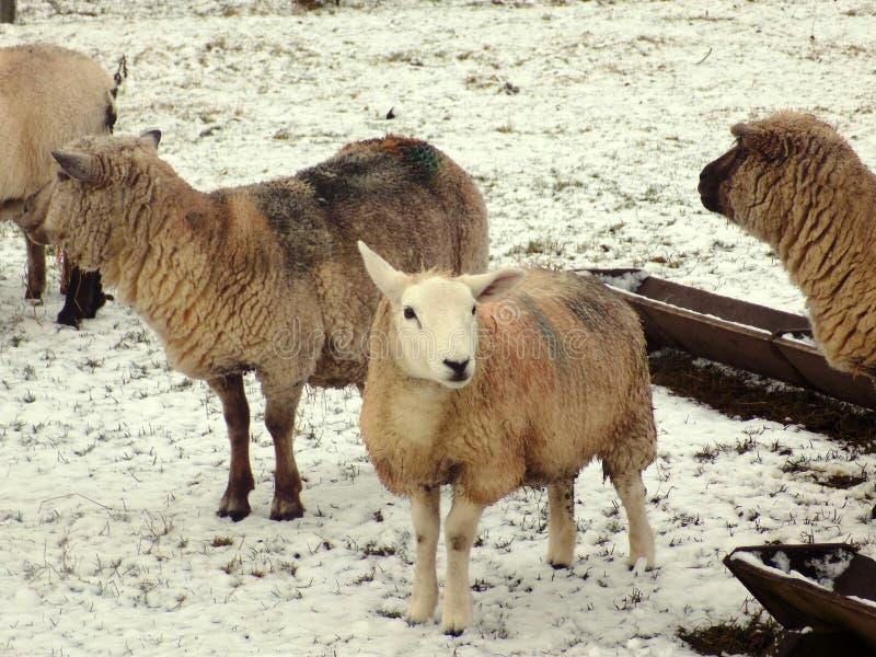 Ovejas en la nieve blanca curruscante, Northumberland Reino Unido fotos de archivo libres de regalías