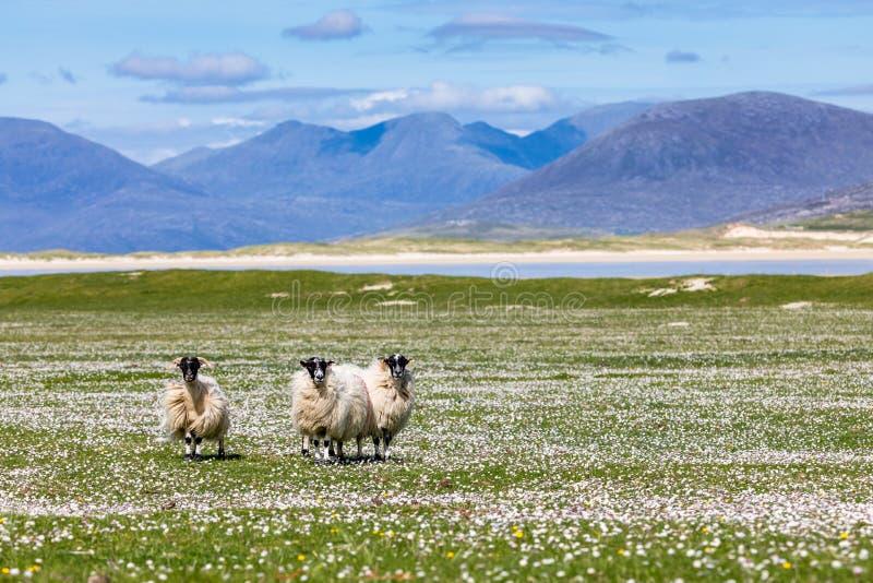 Ovejas en las flores salvajes del machair con las montañas de Harris imagenes de archivo