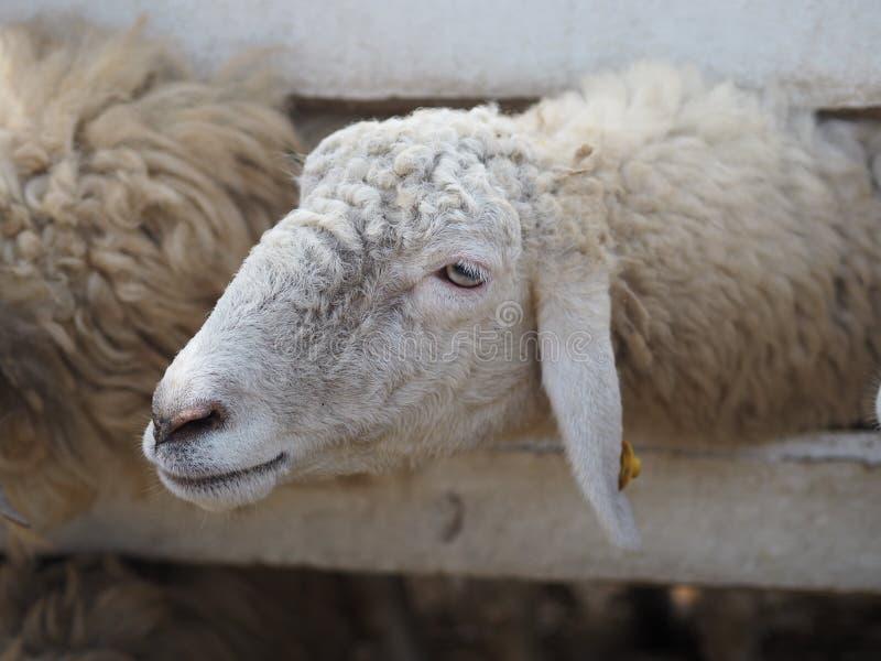 Ovejas en paño grueso y suave de la cara del primer de los animales del campo foto de archivo