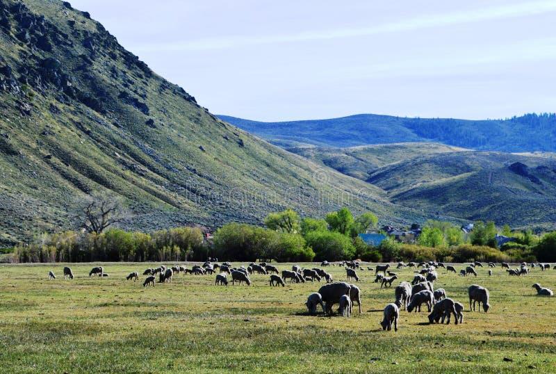 Ovejas en pasto en Carson City, Nevada foto de archivo libre de regalías