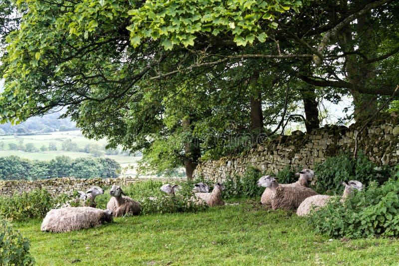 Ovejas en pasto, valles de Yorkshire, Inglaterra fotografía de archivo