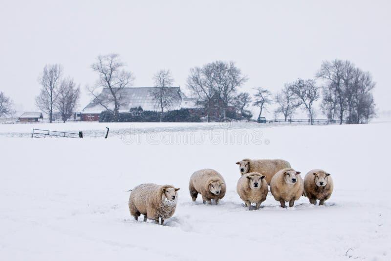 Ovejas en un paisaje blanco del invierno imagen de archivo libre de regalías