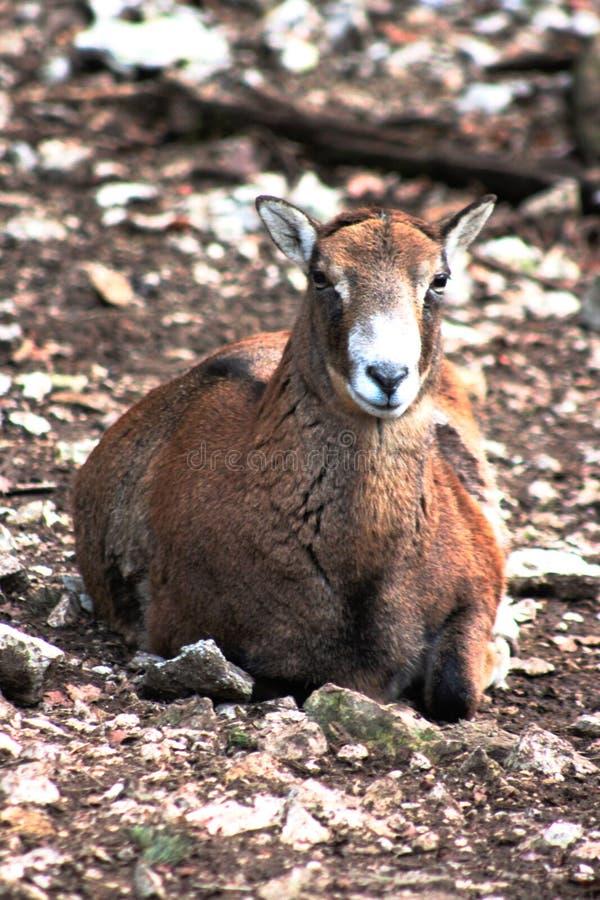 Ovejas femeninas del mouflon que ponen en la tierra imagen de archivo