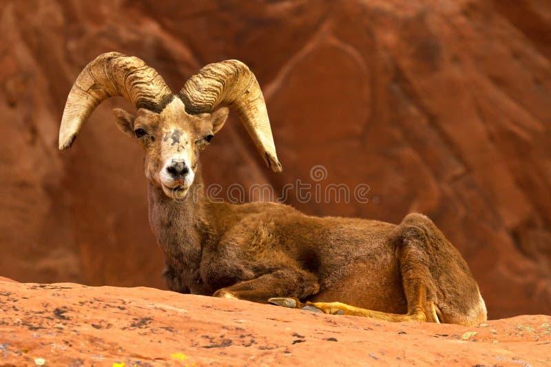 Ovejas grandes de la RAM del claxon del desierto en rocas rojas fotos de archivo libres de regalías