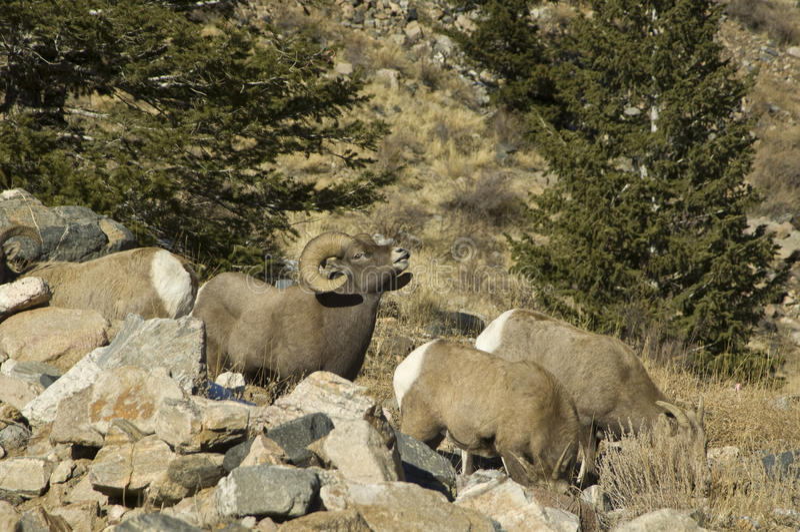 Ovejas grandes del claxon de Colorado del invierno fotografía de archivo libre de regalías