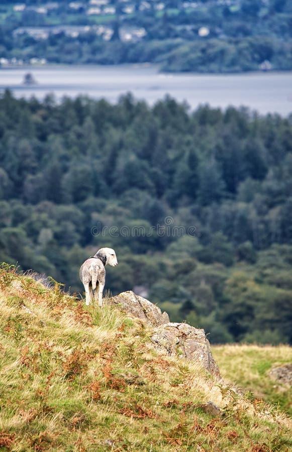 Ovejas jovenes en un afloramiento rocoso Agua de Derwent en el fondo Districto del lago, Cumbria imágenes de archivo libres de regalías