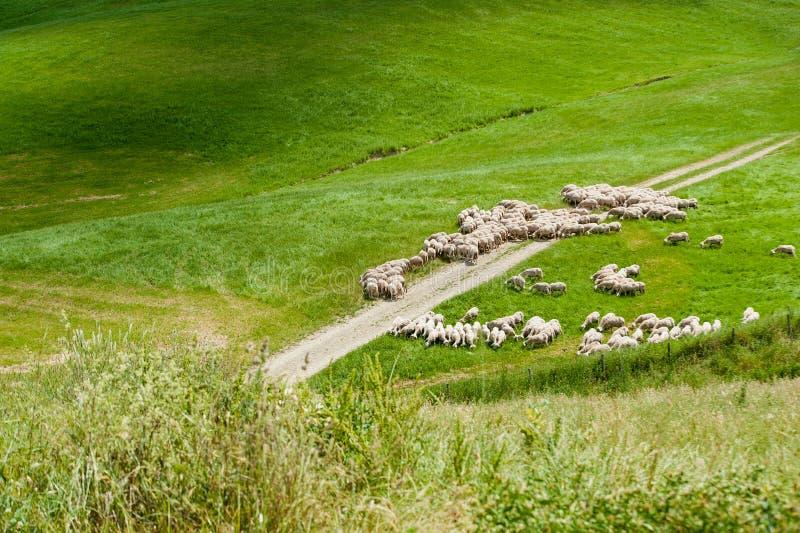 Ovejas libres en un campo verde en un día de verano en Toscana, Italia fotografía de archivo libre de regalías