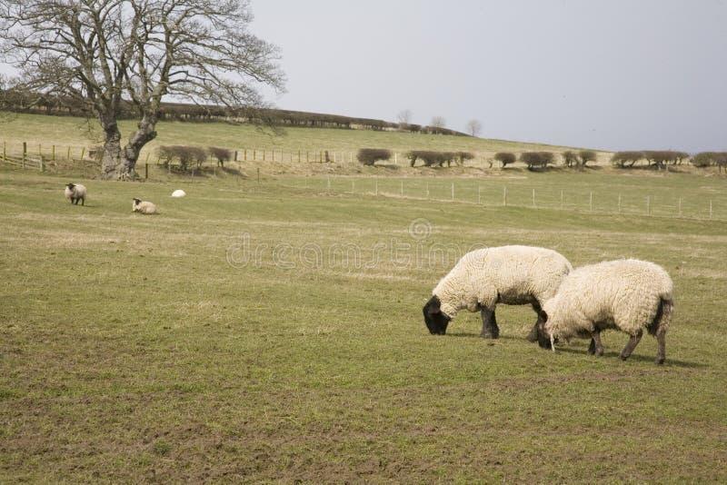 Ovejas Northumberland foto de archivo libre de regalías