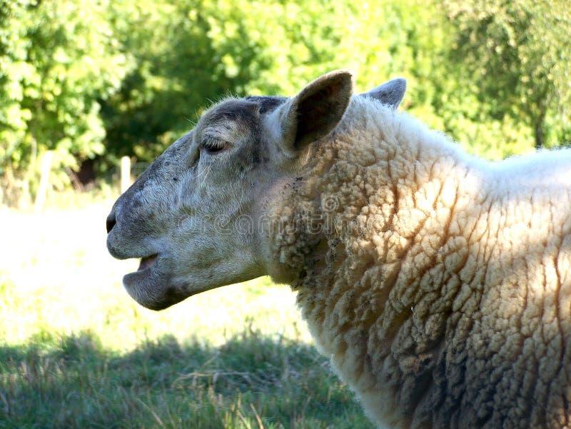 Ovejas, primer en una oveja foto de archivo