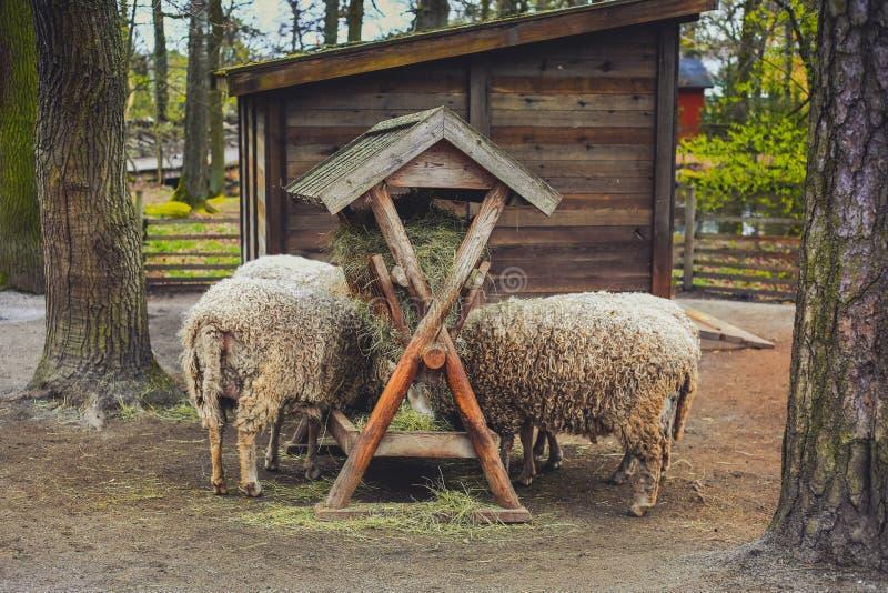 Ovejas que comen el heno en granja imagenes de archivo