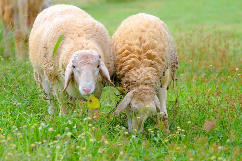 Ovejas que comen la hierba en la granja imagenes de archivo