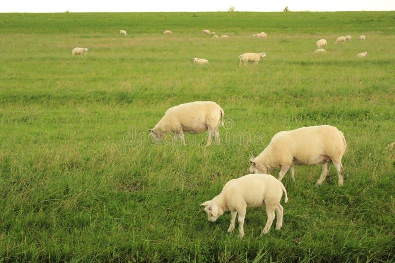 Ovejas que comen la hierba en Países Bajos fotos de archivo
