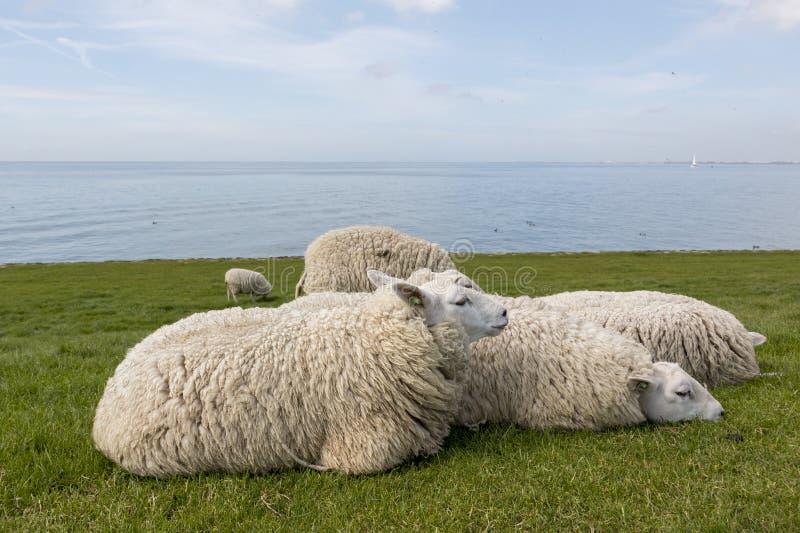 Ovejas que descansan en la hierba en el dique al lado del IJsselmeer imagenes de archivo