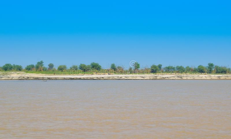 Ovejas que pastan en campos de trigo verdes en el banco del río indus foto de archivo
