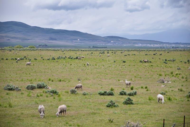 Ovejas que pastan en la opini?n tempestuosa del panorama del paisaje de la frontera de Utah y de Idaho de la autopista 84, I-84,  fotografía de archivo