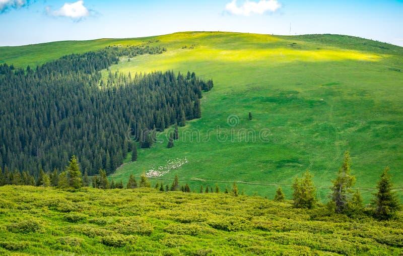 Ovejas que pastan en las colinas verdes fotografía de archivo