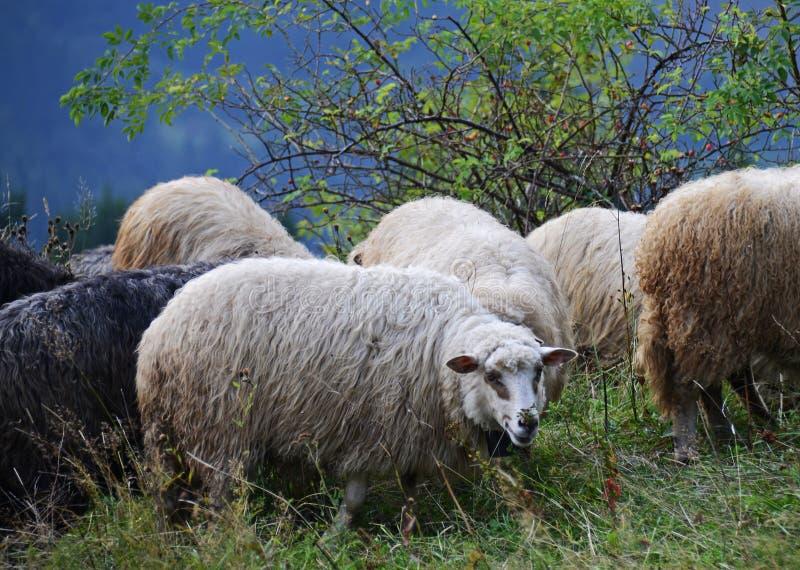 Ovejas que pastan en las montañas Ovejas en prado verde de la primavera en estilo del vintage imagenes de archivo