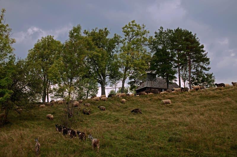 Ovejas que pastan en las montañas Ovejas en prado verde de la primavera en estilo del vintage fotografía de archivo