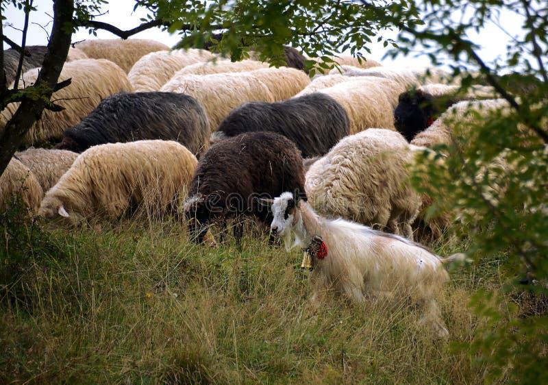 Ovejas que pastan en las montañas Ovejas en prado verde de la primavera en estilo del vintage foto de archivo