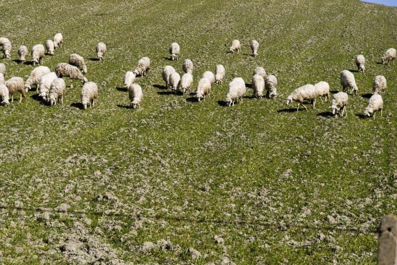 Ovejas que pastan en un prado de la ladera en Calabria imagenes de archivo