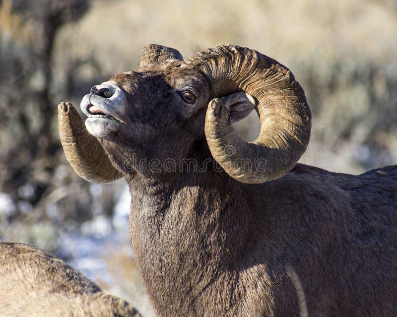 Ovejas Ram Sniffing del Big Horn el aire imagen de archivo