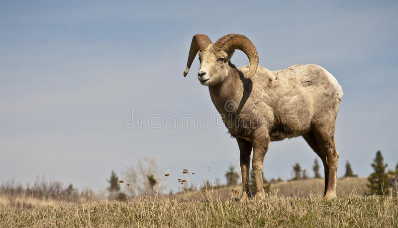 Ovejas salvajes del Big Horn imagen de archivo