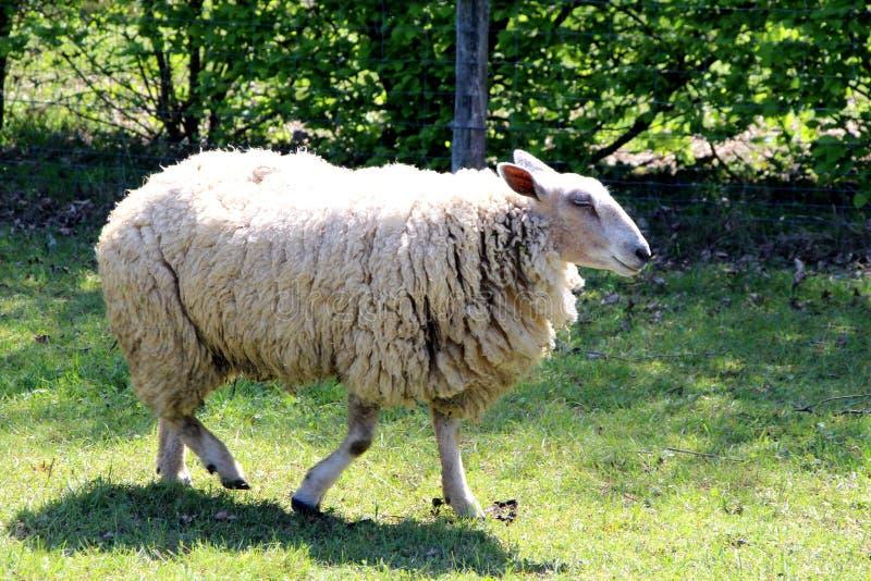 Ovejas, una oveja en un campo en verano imagen de archivo