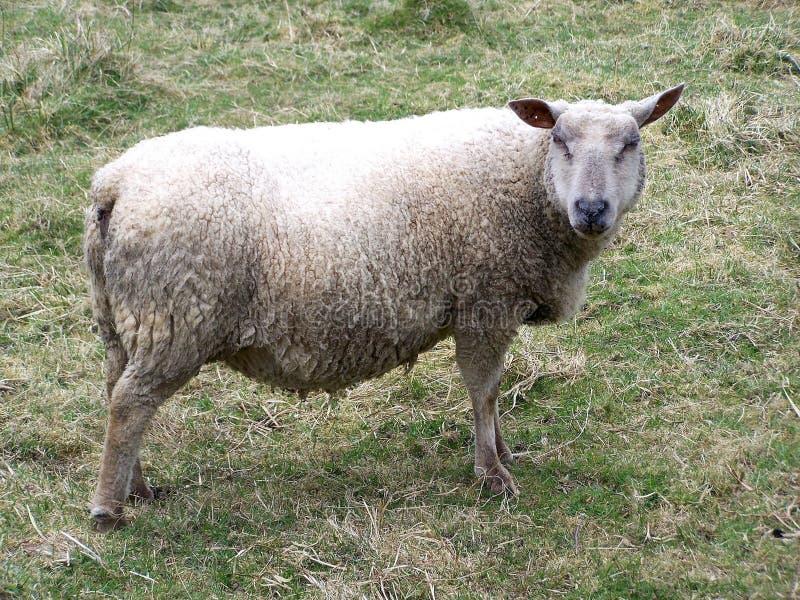 Ovejas, una oveja en un campo en verano fotografía de archivo