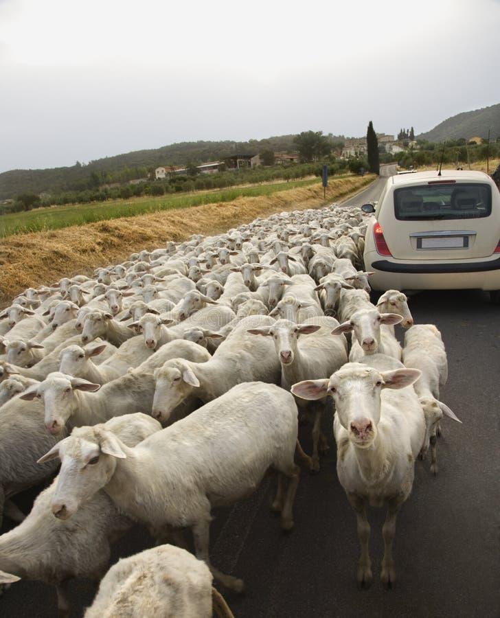 Ovejas y coche en el camino rural foto de archivo