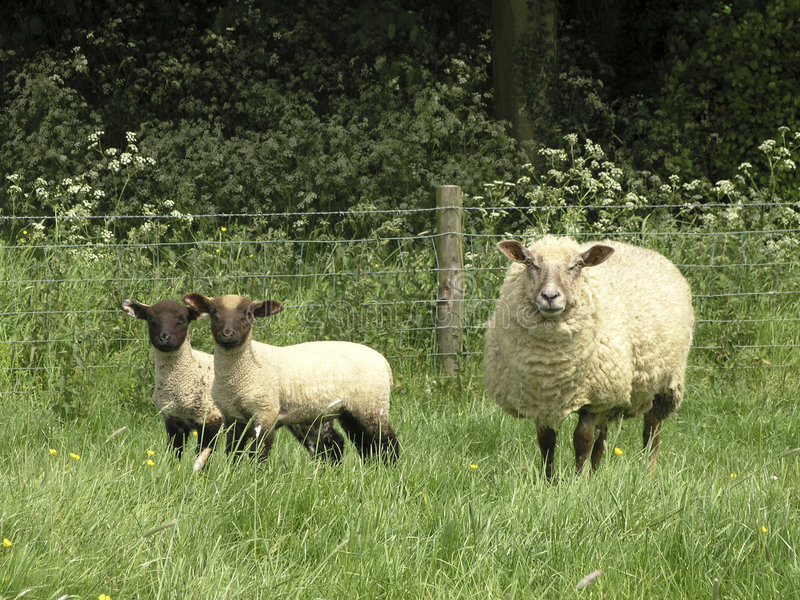 Ovejas y corderos imagen de archivo libre de regalías