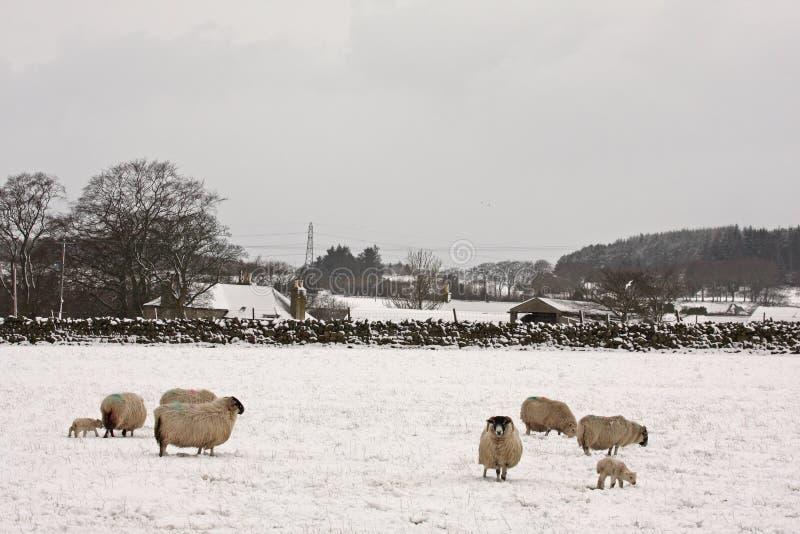 Ovejas y corderos en la nieve fotografía de archivo libre de regalías