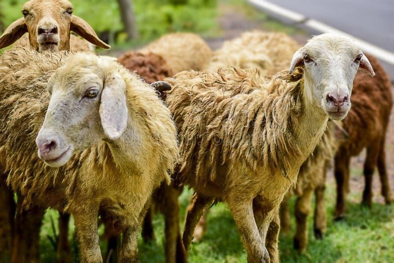 Ovejas y corderos en multitud de alguna ganadería desconocida en el encuentro cercano que mira con ojos curiosos e inquisitivos imagen de archivo