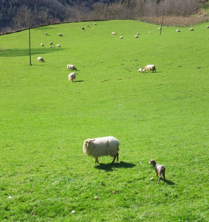 Ovejas y corderos que pastan foto de archivo